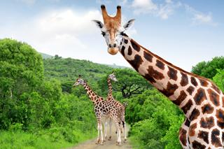 Chamaeleon_girafs_260x173
